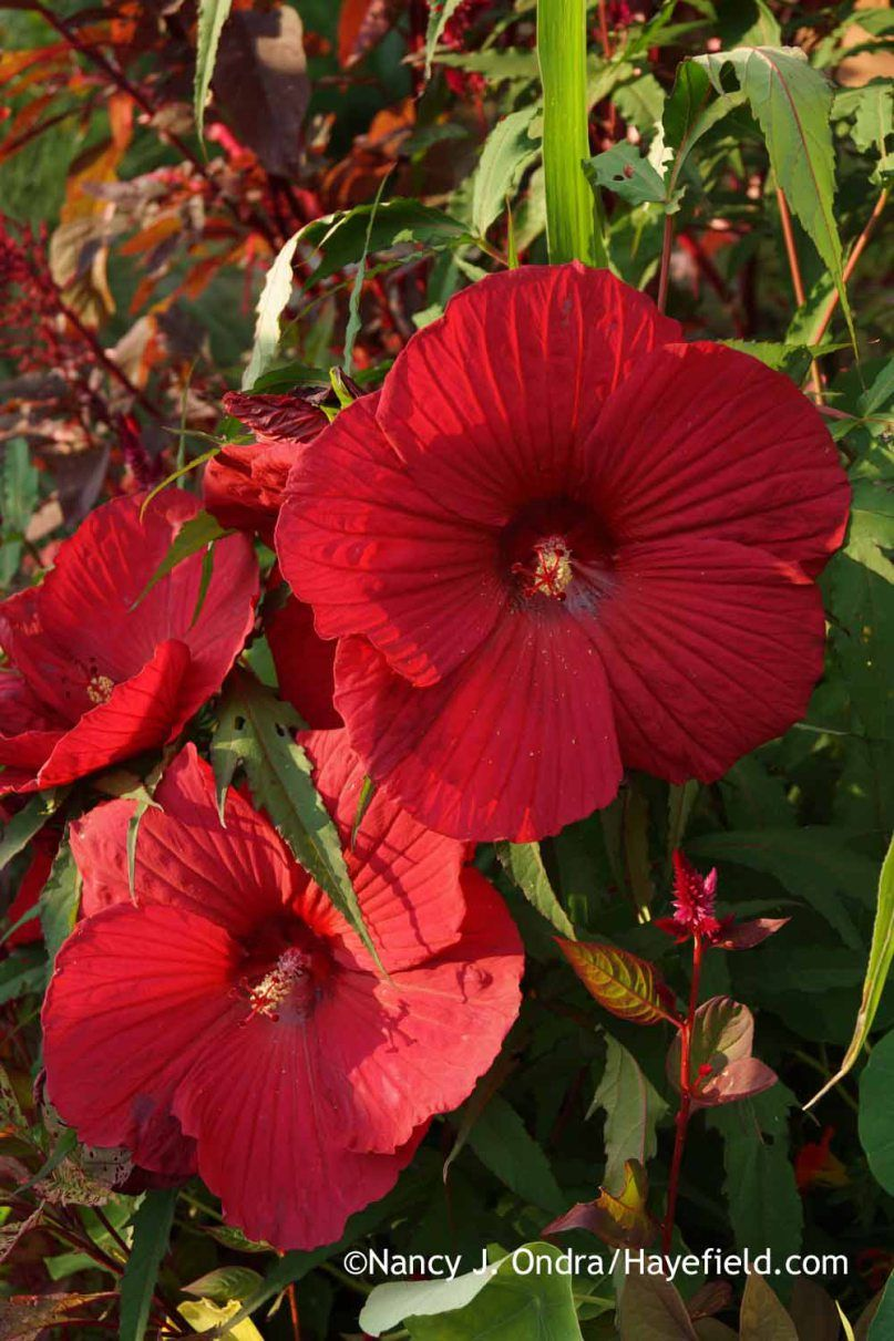 Hardy Hibiscus Fireball Is A Beauty For A Bright Red Its Lobed