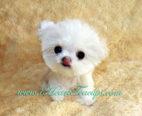 Micro Teacup Maltipoo Pocket Teacup Puppies Puppies Cute Animals