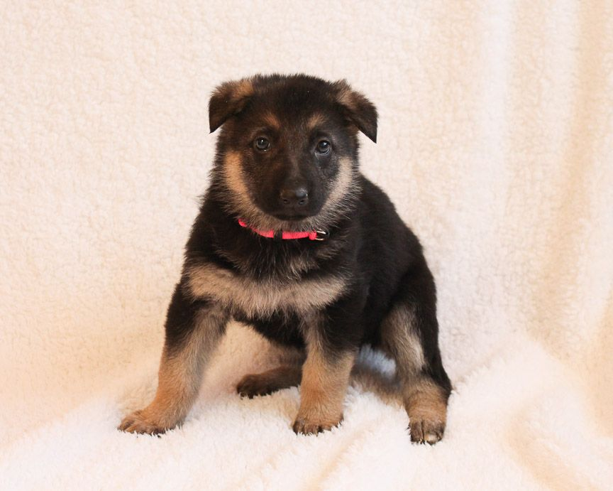 Allie A Female Akc German Shepherd Puppy From Grabill In Find Cute German Shepherd Puppies And Responsi Rottweiler Puppies For Sale Puppies Puppies Near Me