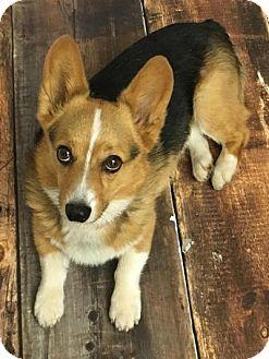 Cokato, MN Pembroke Welsh Mix. Meet Norman, a dog