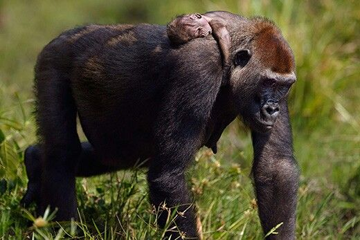 Great ape family in the wild, Smithsonian mag.
