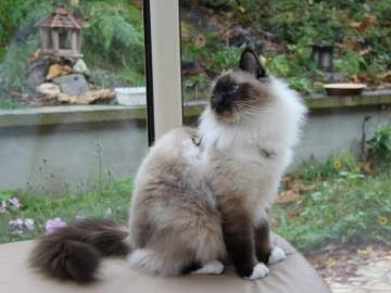 Seal Point Birman Cat With White Feet Looks Like Mr Big White Paws For Markings Of The Birman Breed Cat Breeds Cat Breeds Ragdoll Birman Cat