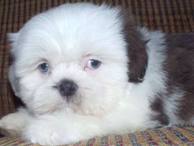 Love Our Blue Eyed Shih Tzu Shih Tzu Animals Blue Eyes