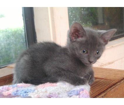 Beautiful Russian Blue Babies Russian Blue American Shorthair Cat Kitten Adoption