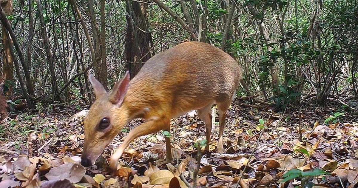 The 'mouse deer' lives Deer like animals, Deer species