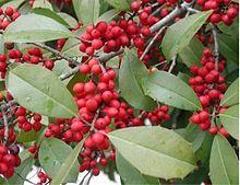 Stechpalmen – Wikipedia
