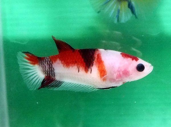 Item Fwbettashmp1426820466 Tancho Koi White Red Black Hmpk Female 3 Ends Thu Mar 19 2015 10 01 06 Pm Cdt Koi Betta Betta Fish Koi