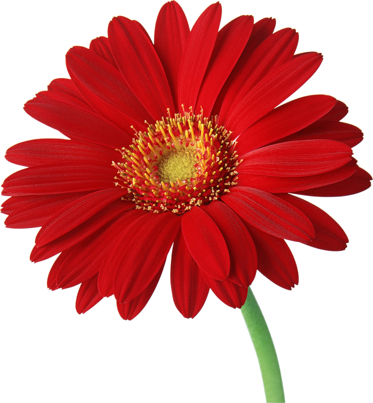 Red Gerber Daisy With Stem Clipart Beautiful Flowers Wallpapers Gerber Daisies Flower Images