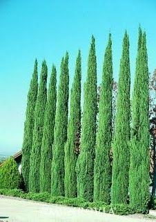 45 Italian Cypress | 15 Gallon | Italian Cypress Hedge | Italian Cypress Trees | Italian Cypress Cost | Italian Cypress for Sale | Italian Cypress Prices | Italian Cypress Spacing | Buy Italian Cypress | Italian Cypress Trees for Sale | Los Angeles | Sa