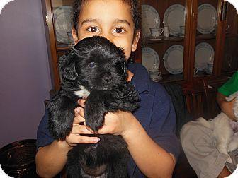 Kylie Adopted Puppy Cincinnati Oh Shih Tzu Cocker Spaniel Mix Cocker Spaniel Mix Puppy Adoption Shih Tzu