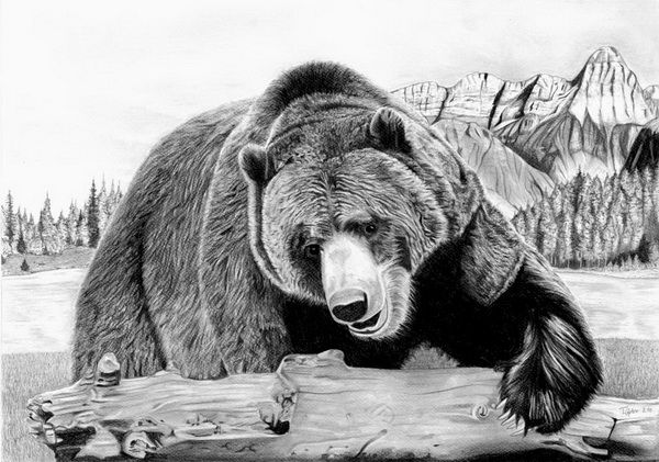Grizzly Bear Drawings Realistic Grizzly Bear Drawings Bear