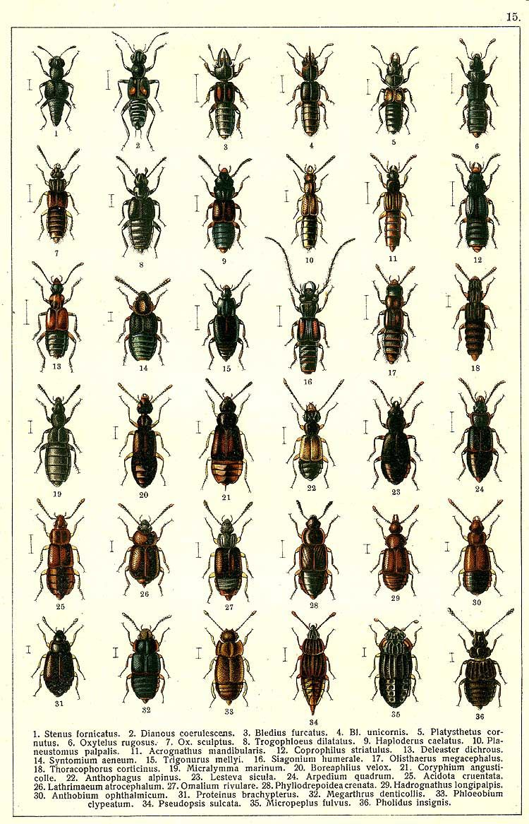 """G.G. Yakobson (1905-1915) - """"Beetles of Russia"""": table 15"""