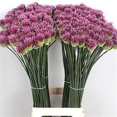 Allium Sphaerocephalon 80cm Wholesale Flowers Florist Supplies Uk