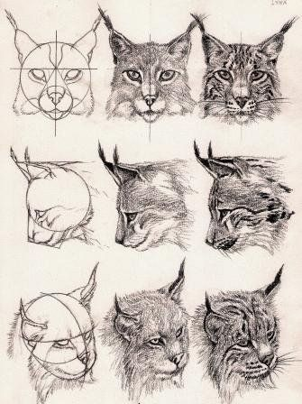 Lynx Head Middle Right Maybe If It Was Looking Up Animal Drawings Animal Sketches Pencil Drawings Of Animals
