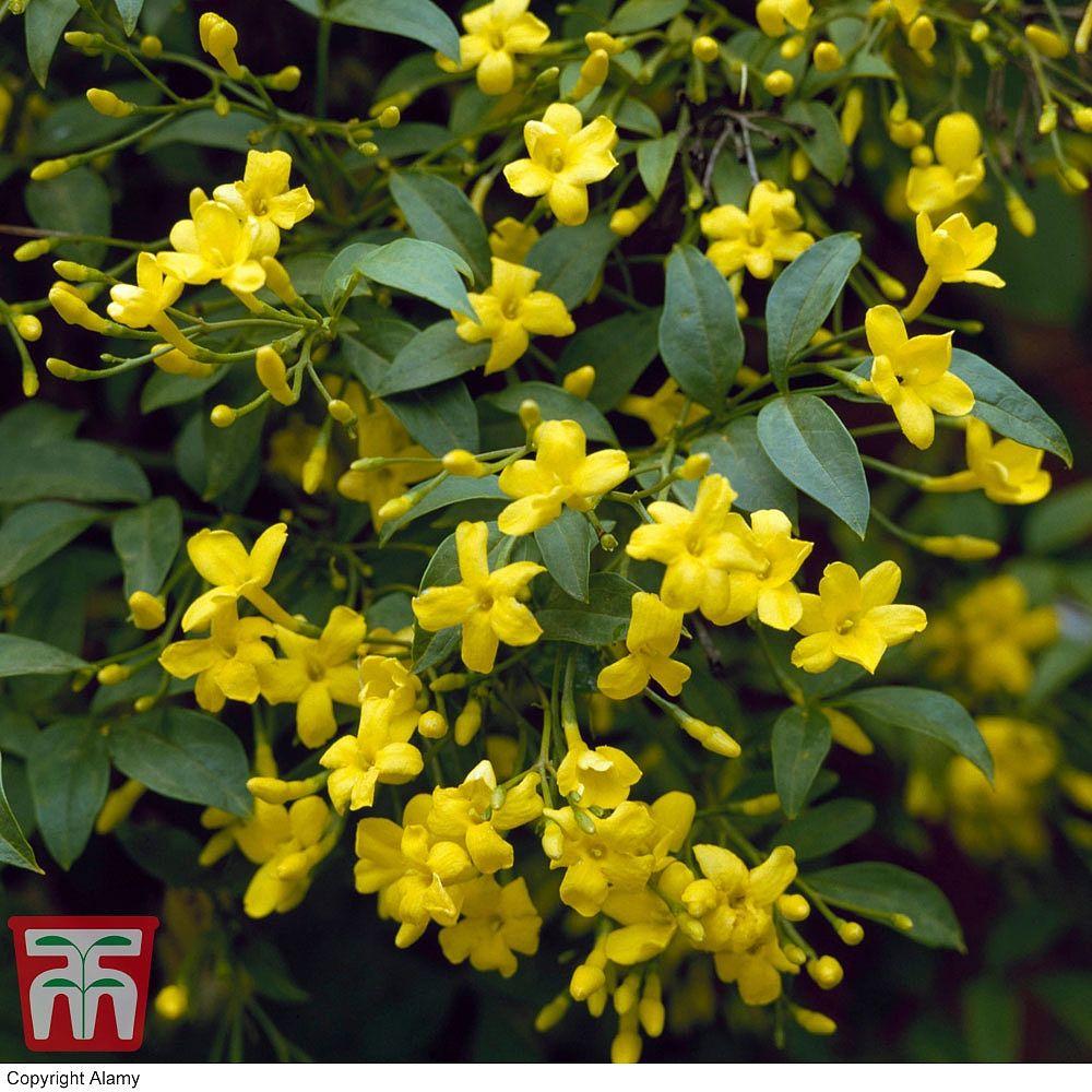 Jasminum humile revolutumitalian jasmine yellow jasmine flowers may august jasminum humile revolutum get the wow izmirmasajfo