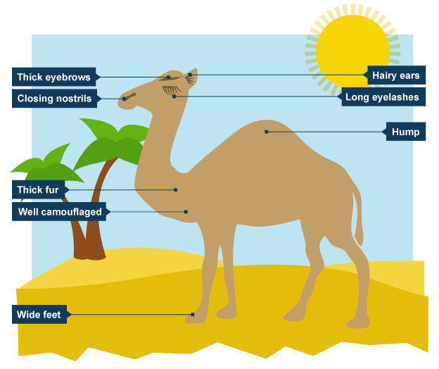 Diagram Showing Why Camels Are Well Suited To Hot Climates