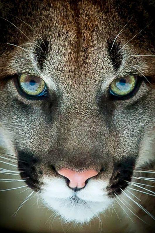 Google Binatang Kucing Besar Hewan
