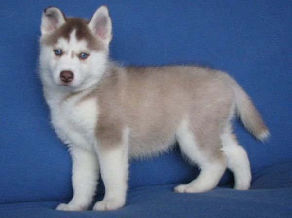 Cute Siberian Husky Puppies With Blue Eye Like Color Husky