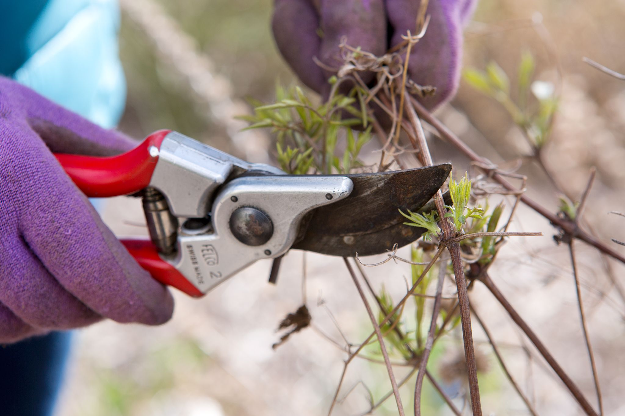 Find out how to prune Group 3 clematis in winter, including viticella and texensis types, in this practical guide from BBC Gardeners' World Magazine.