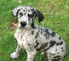 My Dream Dog A Blue Great Dane With Floppy Ears Loooove Blue
