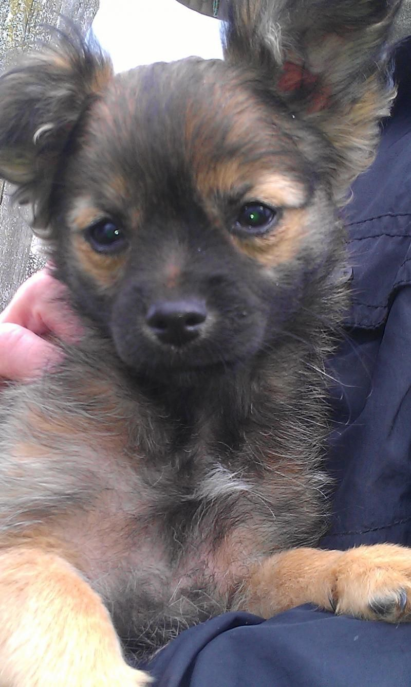 Adopt Landry on Dogs, Chihuahua dogs, Chihuahua