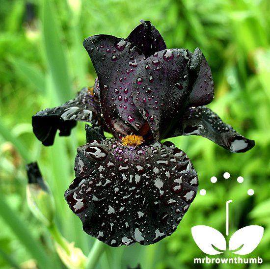 Black Iris Flower Mrbrownthumb Iris Flowers Unusual Flowers Flowers Perennials