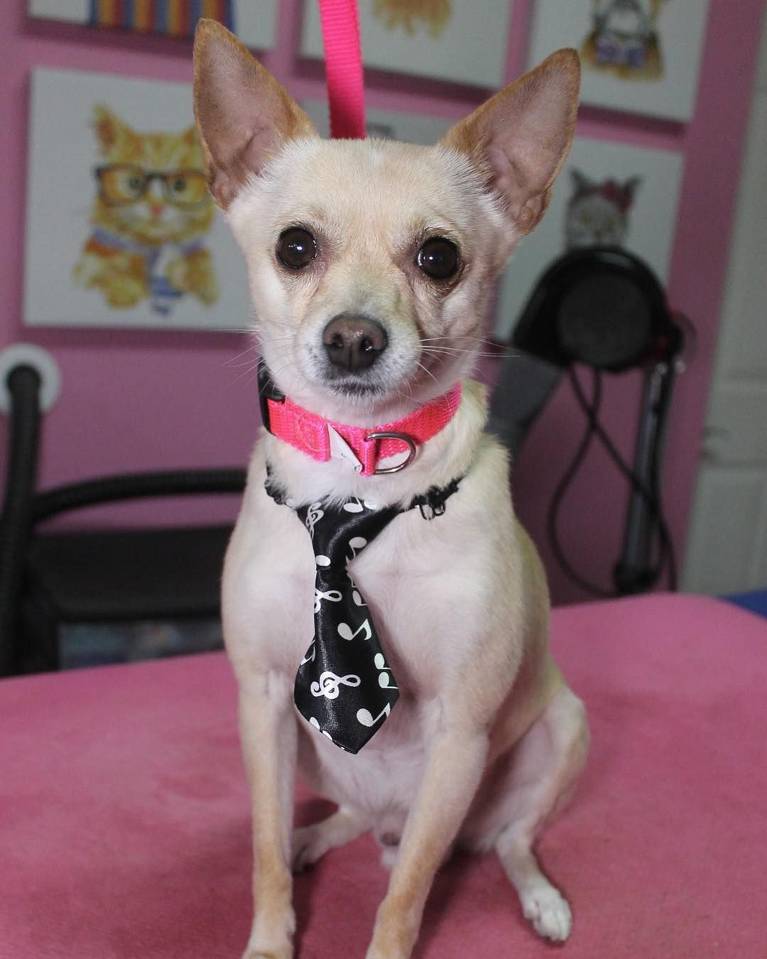 Pochi Chihuahua Dog Dogs Doggrooming Doggroomer Petgroomer