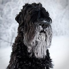 Dasha, a black russian terrier after a hike. Picture copyright MarkMeyer