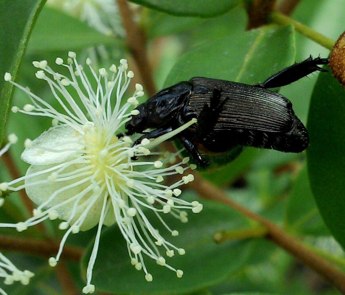 un escarabajo comiendo nectar de una flor de arrayan