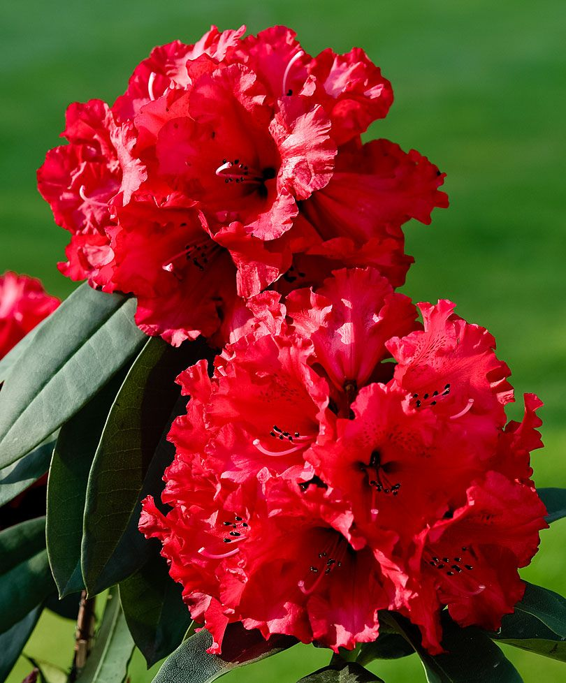 Rhododendron Taurus Beautiful Early Bloomer With Huge Red