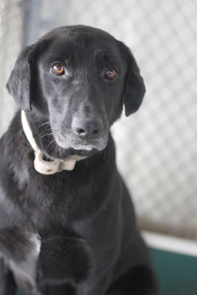 12 19 16 Conroe Tx Southeast Texas Labrador Retriever Rescue Yesterday At 1 21pm Available At Mont Labrador Retriever Rescue Labrador Retriever Rescue Dogs