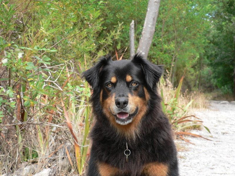 Rottweiler Collie Looks Like Bootsie But A Little Thicker