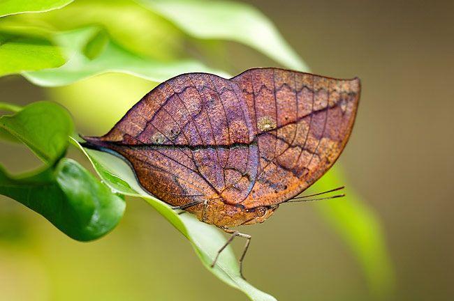 Mariposa-Camuflage-butterfly.jpg (650×432)