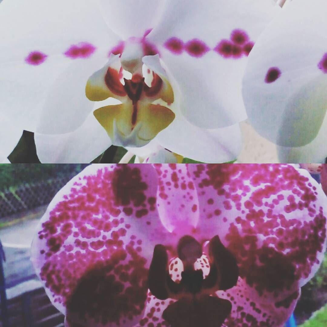 Zuwachs für unsere Orchideen auf dem Fensterbrett. #orchidaceae #flower #flora #floweroftheday #instaflower #gardening #gardeninspiration #gartenträume #fenster #window #blume #orchidee #orchideen #white #pink #natur #nature #blüten #blühen #liebe #loveit #deutschland #germany #instaflower #instapicture #instapic