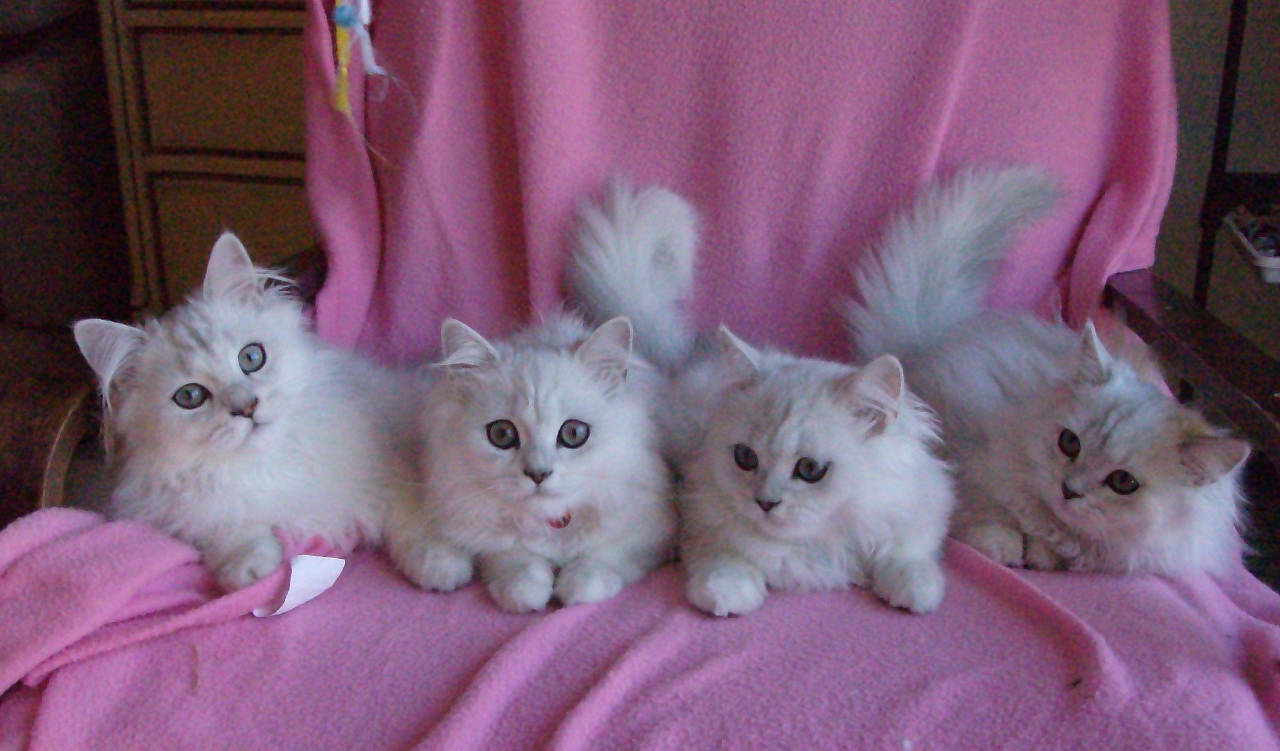Dearheart Chinchilla Silver Persian Cats/Kittens Carson