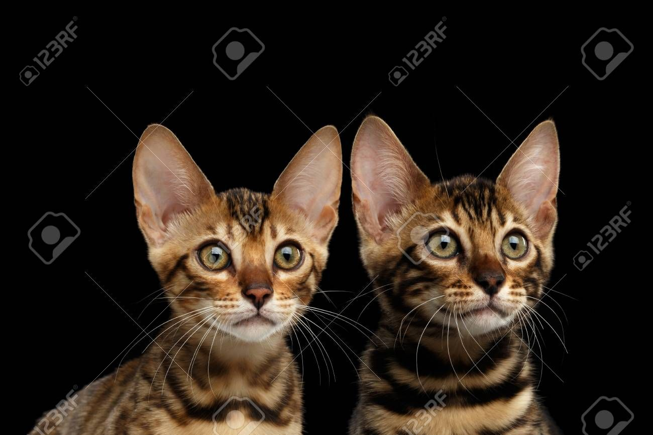 Closeup Portrait of Two Young Bengal Kittens on Isolated Black Background, Front view, Sister and Brother, wild breed with tabby gold fur Stock Photo , #ad, #Black, #Isolated, #Front, #Background, #Kittens