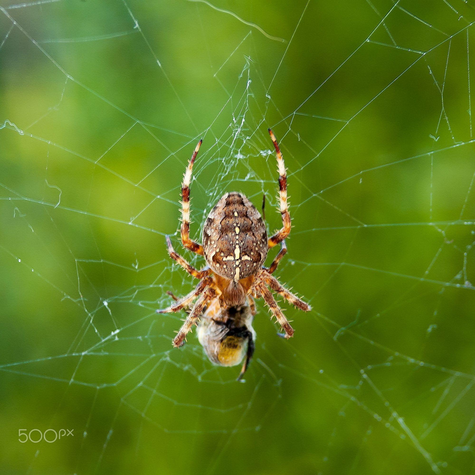 Le repas araneus diadematus l 39 peire diad me est une esp ce d 39 araign es aran omorphes de la - Araignee des jardins en 6 lettres ...