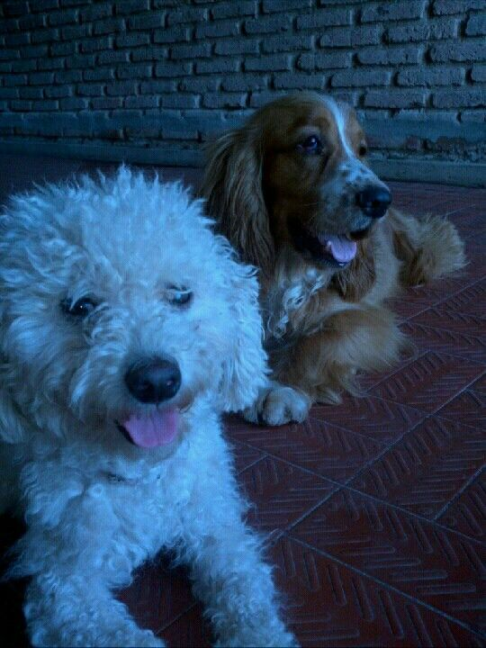 Mis perros Oliver y Fiamma