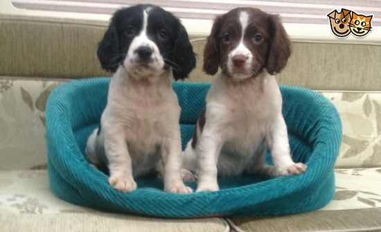 English Springer Spaniel Puppies For Sale Wickford Essex Spaniel Puppies For Sale Springer Spaniel Puppies English Springer Spaniel Puppy