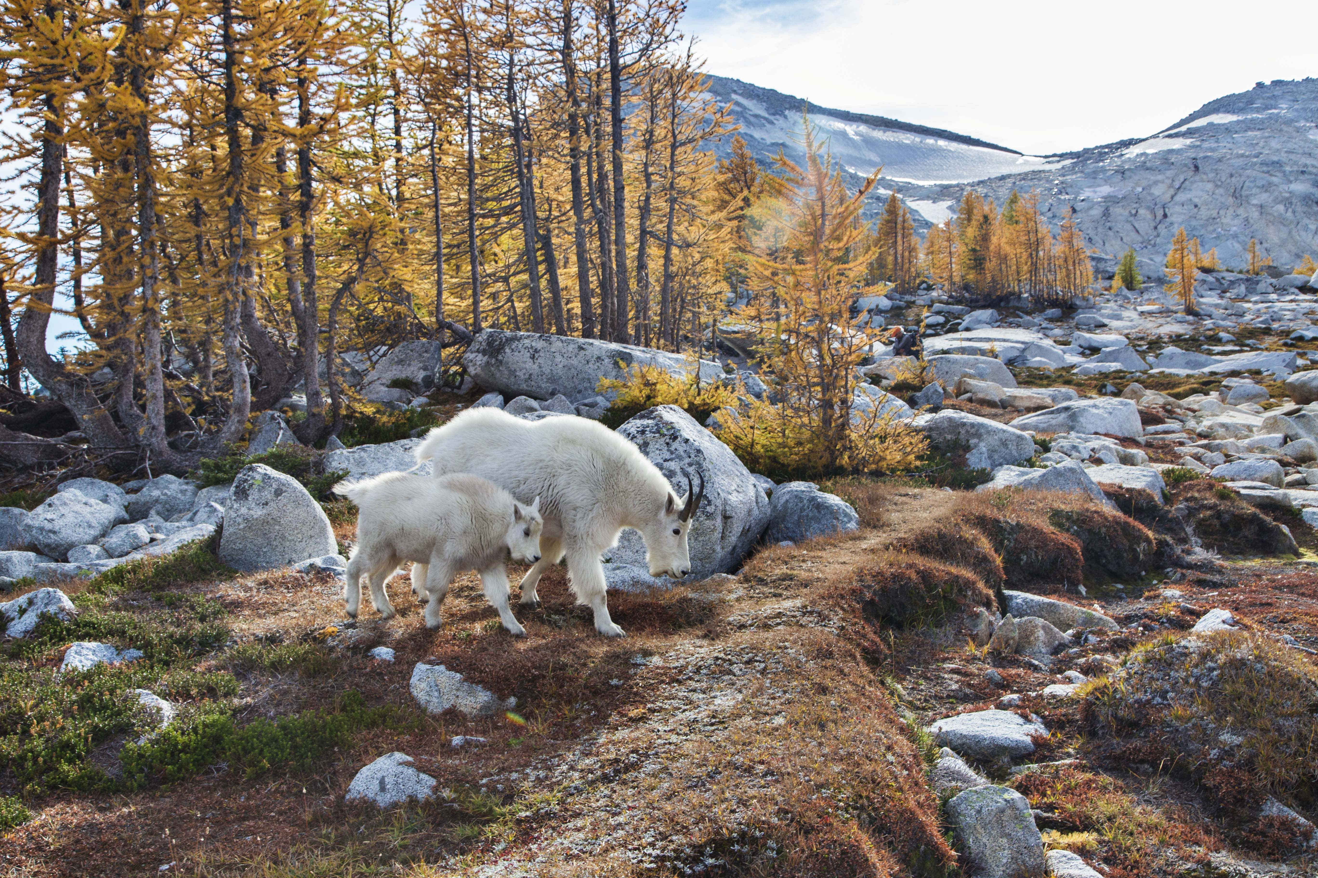 Enchantments (With images) Mountains, Mountain goat