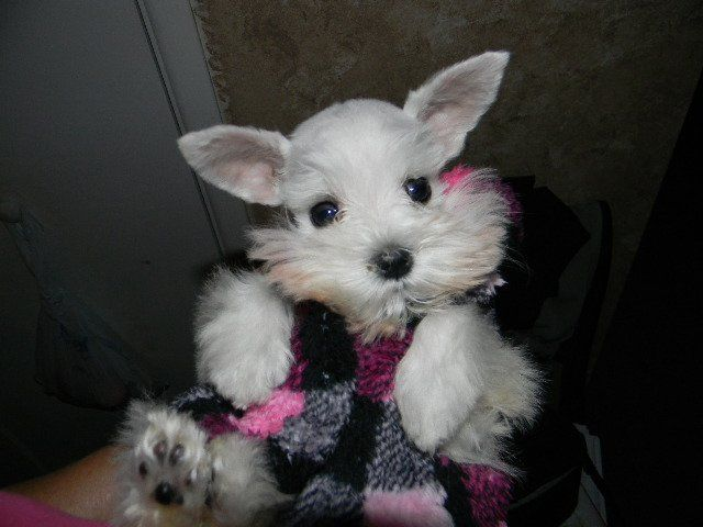 Lonestar Farms Miniature Toy And Teacup Schnauzer Puppies For
