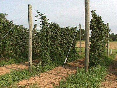 Hop trellis system hop growing designs pinterest for Hops garden designs