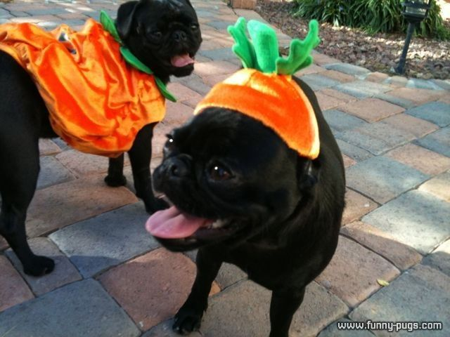 Pug Costume Of A Black Pug In A Halloween Costume Funny Pugscom