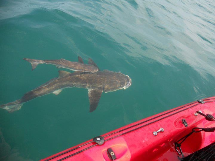 Cobia checking out the kayak outer banks kayak fishing for Outer banks fly fishing
