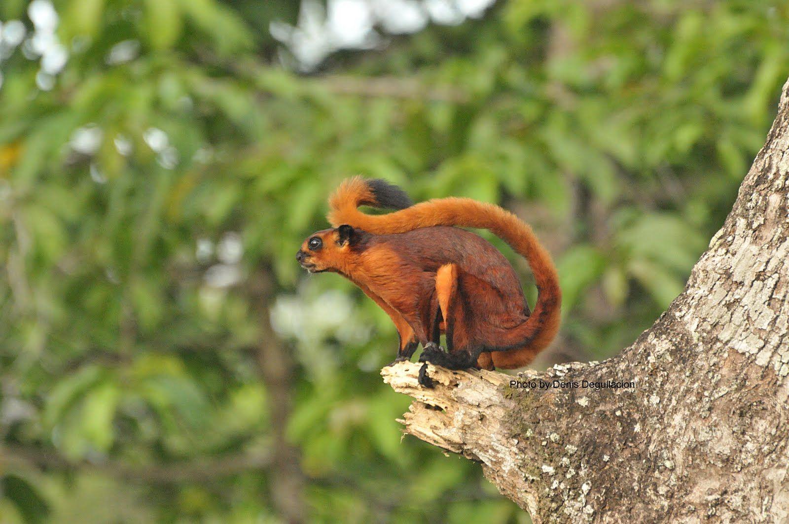 学名 Pteromys momonga 和名 モモンガニホンモモンガホンドモモンガ 英名 Japanese dwarf flying squirrel Japanese lesser flying squirrel