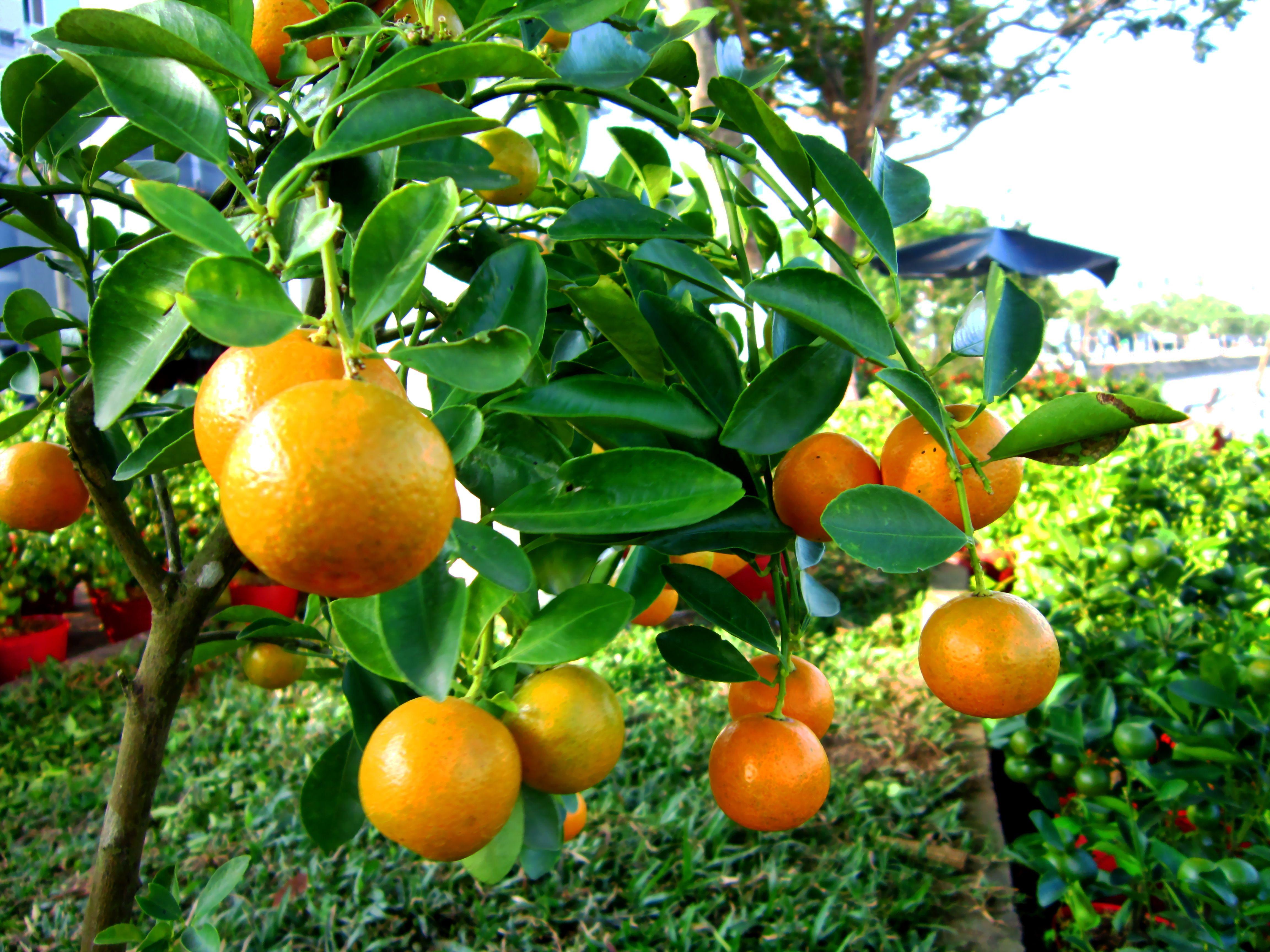 Kumquat: Fortunella japonica [Synonym: Citrus japonica