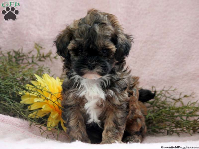 Page not found shih poo shih poo puppies puppies