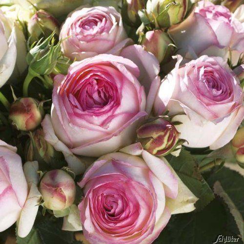 strauchrose eden rose rosen bl ten zweifarbig rosa wei. Black Bedroom Furniture Sets. Home Design Ideas