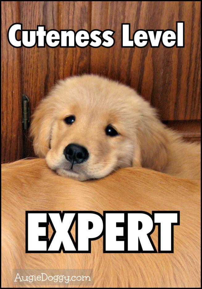 Golden Retriever Memes Image Memes At Relatably Com Dogs Golden