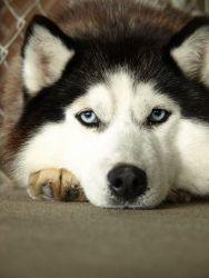 Montana Is An Adoptable Siberian Husky Dog In Appleton Wi